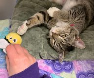 Striped cat playing with a bumblebee toy