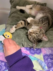 Striped cat playing with a bumblebee toy for #GetKind