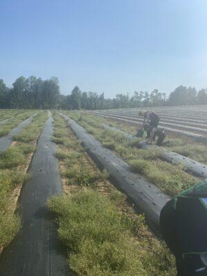 people planting seedling in rows in a farm field