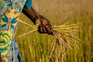 The hand of an African woman holding rice plants. On the left side is a bit of a patterned blue dress visible