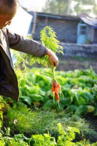gardener extracting carrots
